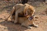 Lion (mating)