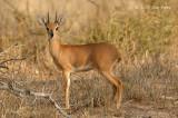 Steenbok (male)