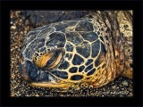 Honu Closeup: Wake up call
