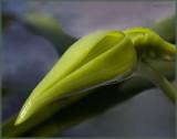 Angraecum bud