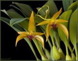 Bulbophyllum Frank Smith 'Maureen's First' HCC/AOS