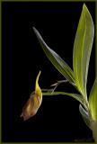 Galeandra batemanii - bud