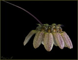 Bulbophyllum sikkamesse