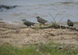 Stære - Starlings