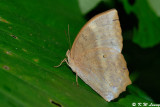 Discophora sondaica
