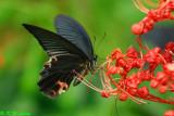 Papilio protenor (藍鳳蝶)