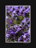 Violet flower bank