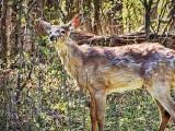 Young Deer DSCF01848