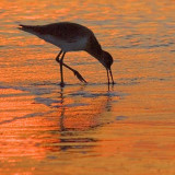 Sandpiper In Sunrise Reflection 45115