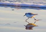 Sanderlings of Texas