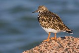 Jetty Ruddy Turnstone 46310
