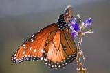Queen Butterfly 46535