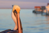 Pelican In Sunset Glow 46591
