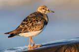 Ruddy Turnstone Walking A Plank... 48909
