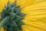 Bush Sunflower 50808