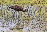 White-Faced Ibis 51291 Art