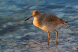 Willets of Texas