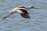 Avocets of Texas