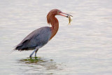Reddish Egret With Catch 54724