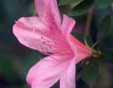Azalea 20070304