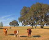 Curious Cows 56326