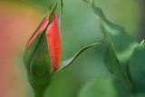 Rose Bud 20070322