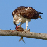 Osprey Eating A Fish... 58123