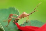 Leaf-footed Bug (Coreidae) 20070331