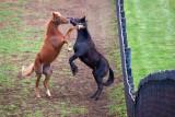 Playful Horses 20070412