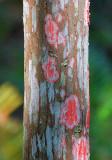 Red Lichen? 58686