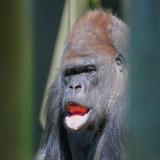Gorilla 59532