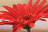 Red Gerbera 59669