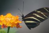 Butterfly 59808