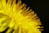 Dandelion Profile 20070514