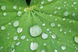 Raindrops on a Leaf 60179