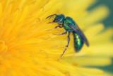 Green Bee On A Dandelion 20070523