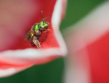 Green Bee, Red Tulip 20070524