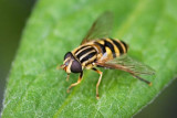 Bee Fly 60410