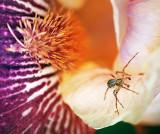 Spider On An Iris 20070608