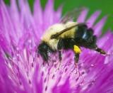 Bumble Bee On Purple Flower 60837