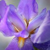 Purple Iris 60868