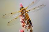 Dragonfly 20070614