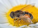 Bee Mimic On A Daisy 20070620