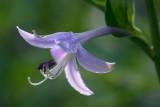 Hosta Flower 20070621