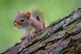 Squirrel On A Limb 20070625