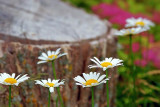 Daisies Near A Stump 20070628