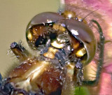 Dragonfly Head 62319 (crop)