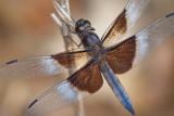 Dragonfly 62286