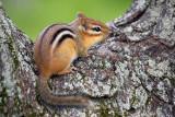 Chipmunk In A Tree Notch 62359