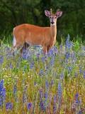 Deer Amid Wildflowers 62551